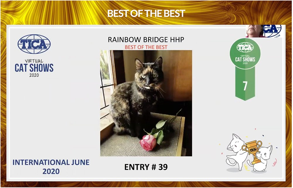 tortoiseshell cat gets 7th best of the best in TICA Virtual International Show