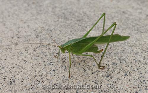 close up shot of katydid