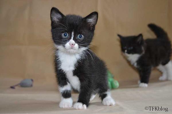 Tuxedo kitten foster