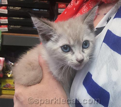 small kitten at pet shop