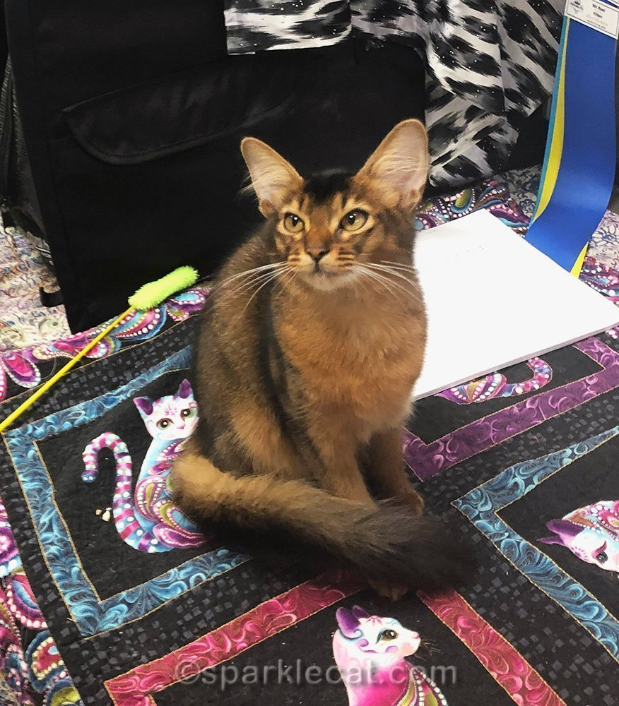 somali kitten at first show!