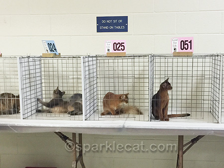 blue Somali kitten, red Somali kitten, ruddy Abyssinian kitten, cat show, show kittens, kittens being judged