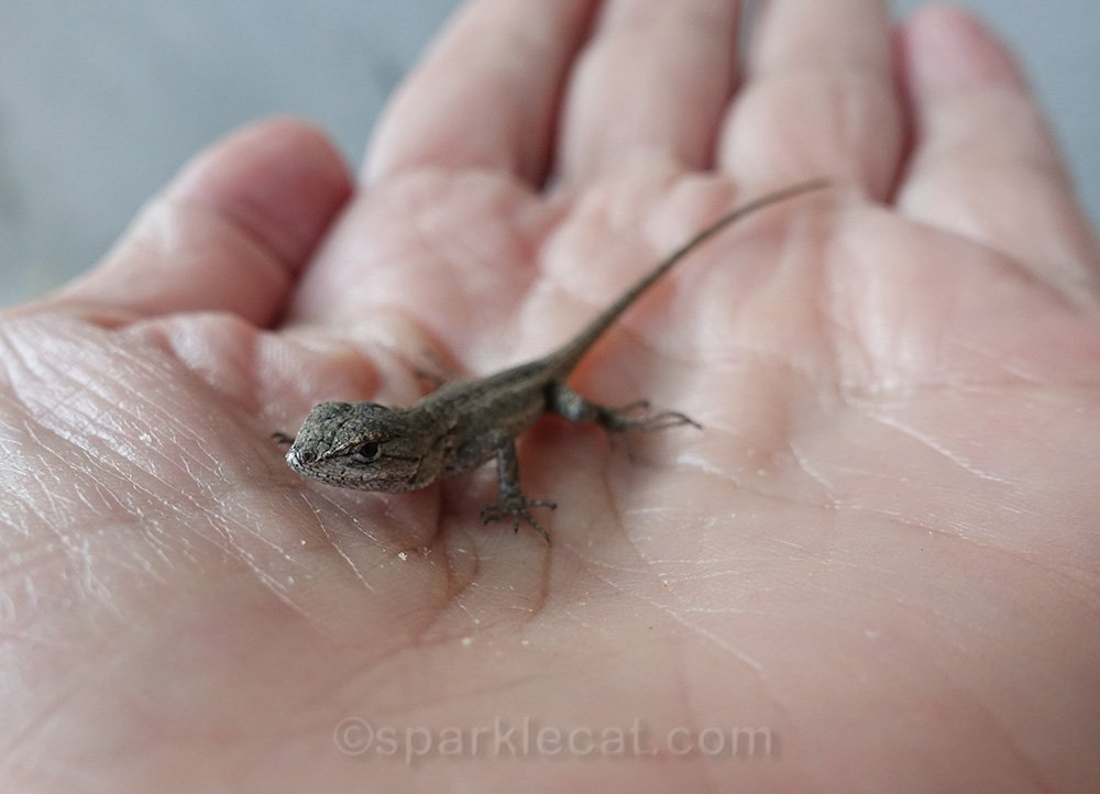 baby lizard in a hand