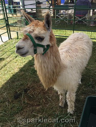 a llama at the pet expo