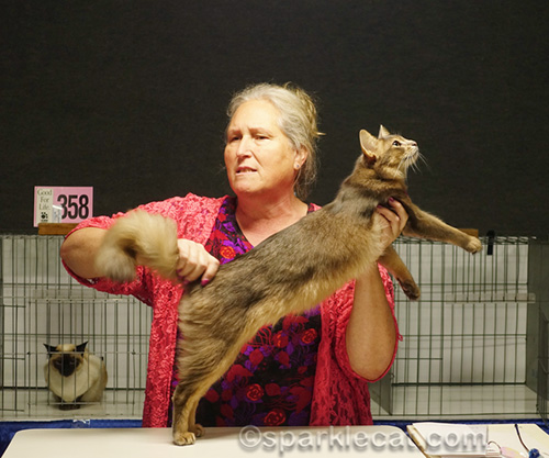 another judge with blue somali cat