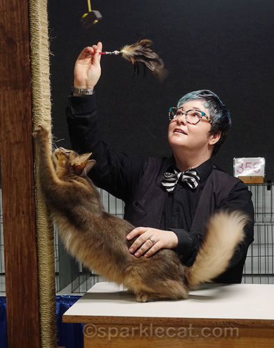 judge playing with blue somali cat