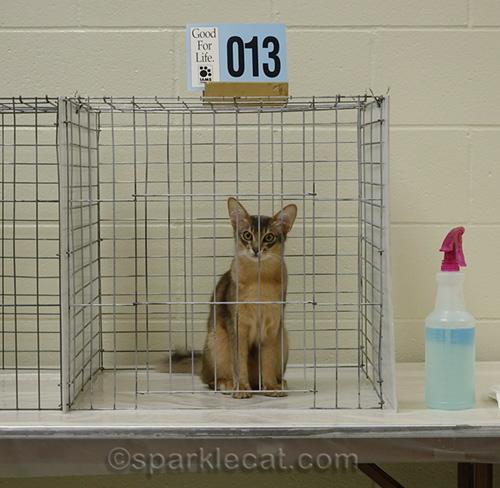 Mischievous somali kitten in judging cage