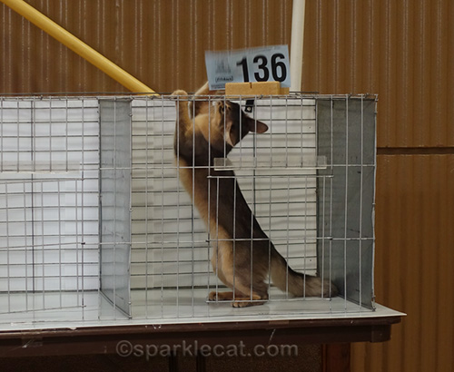 somali kitten playing with number card in judging cage