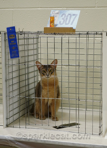 somali cat knocking down ribbon in judging cage