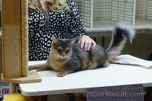 blue somali cat being judged