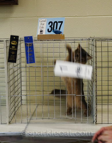 blue somali cat knocks down his number in judging cage