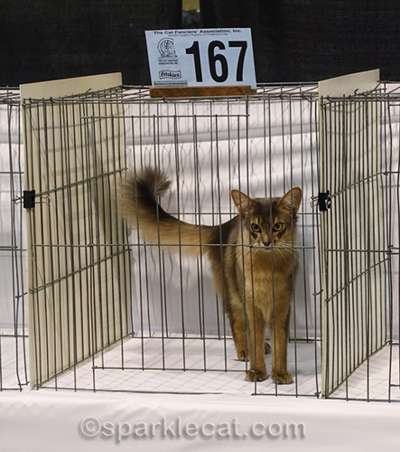 blue somali crazy louie in cage in cat show ring