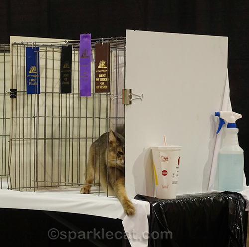 blue somali cat causing trouble in cat show ring