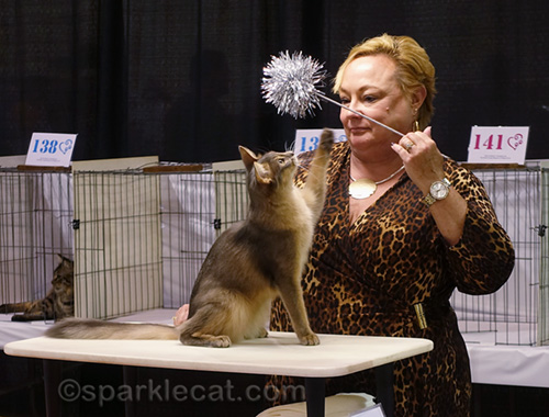 blue somali neuter eyeing cat toy in show ring