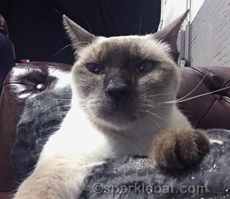 siamese cat, cat selfie