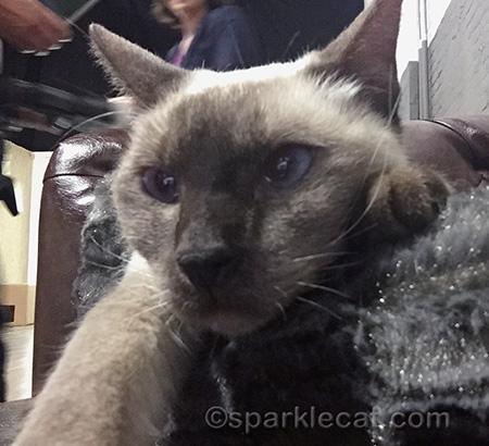 meezer cat, siamese cat, cat selfie