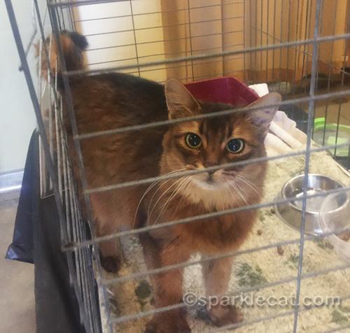 somali rescue cat Miss Kitty