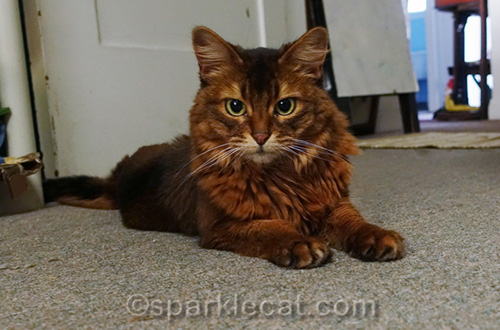 Miss Kitty, a Somali cat in need of a home