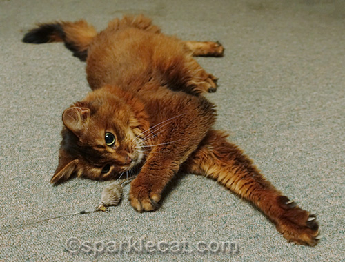 somali cat playing with cat toy