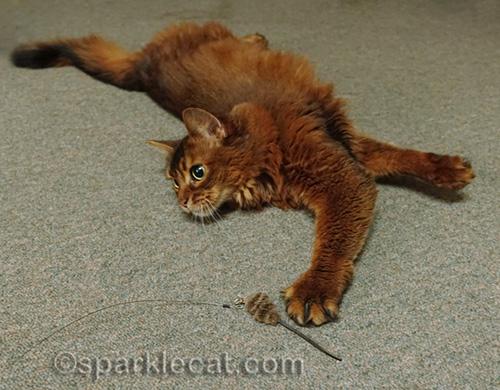 Somali cat having fun with toy