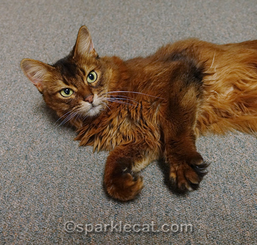 somali cat waiting to be adopted