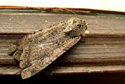 A fluffy moth hors d'oeuvre