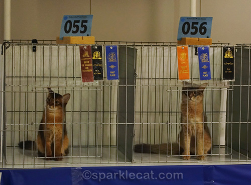 somali kittens after being judged