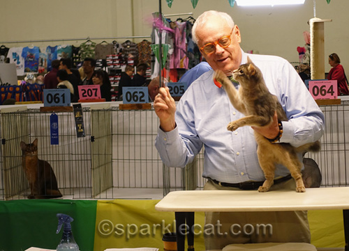 blue somali kitten in judging ring