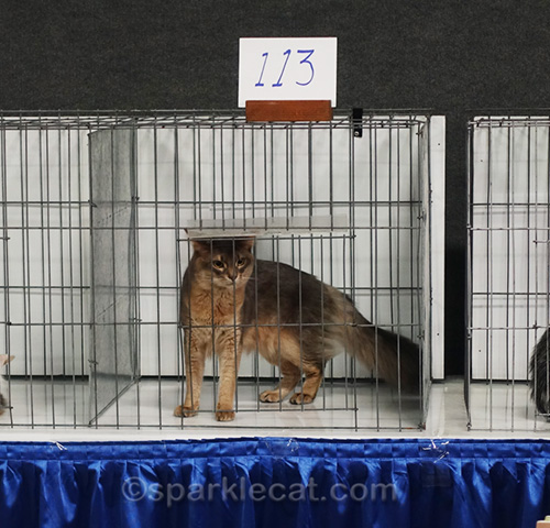 blue somali cat in Best of the Best ring
