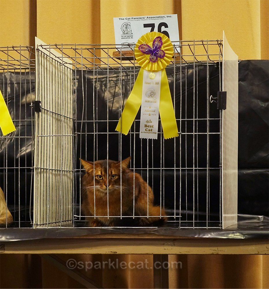 male somali cat in judging ring, with ribbon