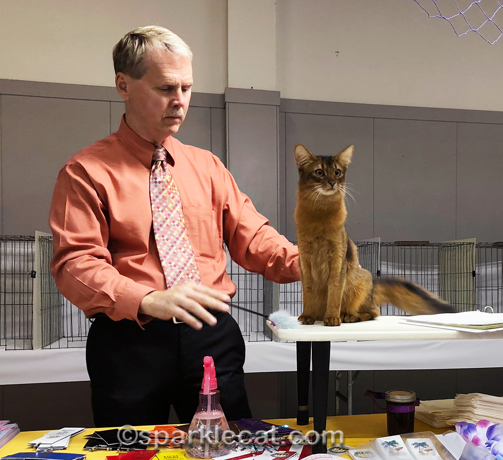 somali kitten sitting tall on judging table