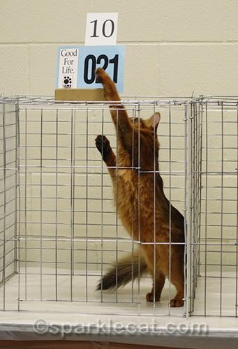 ruddy somali kitten causing trouble