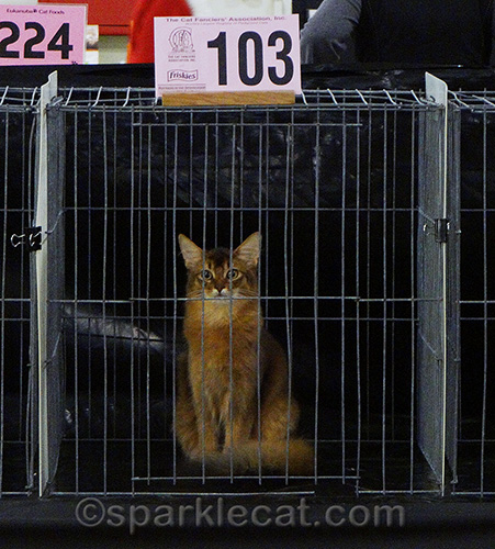 somali kitten in a cat judging cage