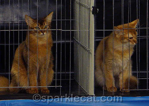 two somali kittens in cat judging cages
