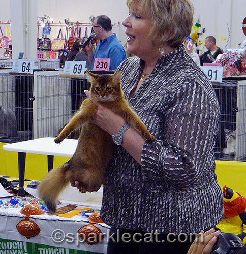 somali kitten being finaled in a judging ring