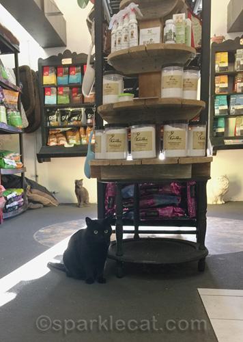 black shop cat looks surprised