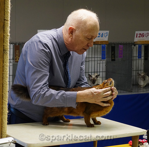 male somali cat being judged