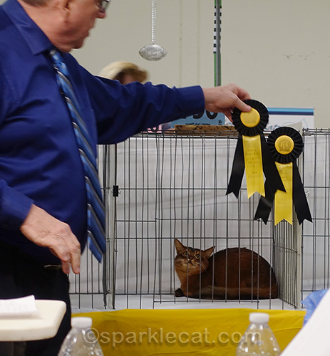male somali cat getting Champion ribbons
