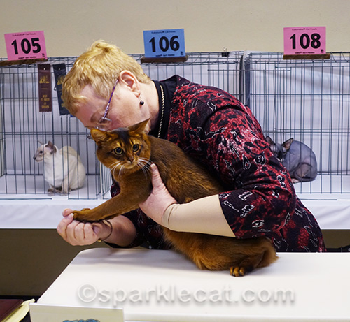 male somali cat being examined by judge
