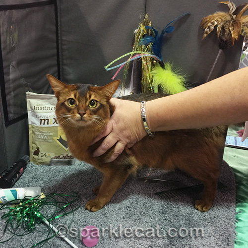 male somali cat getting groomed for cat show judging