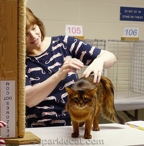 male somali cat in judging ring