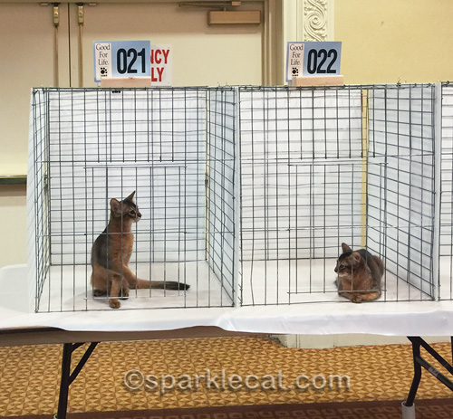somali kittens in judging cages at cat show