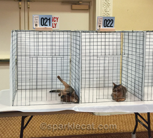 silly somali kitten rolls over in judging cage at cat show