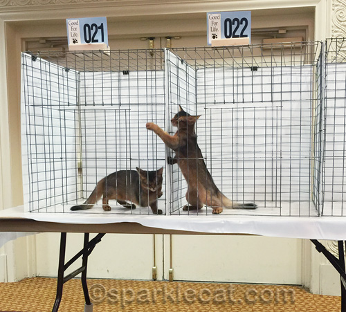 somali kittens playing in judging cages at cat show