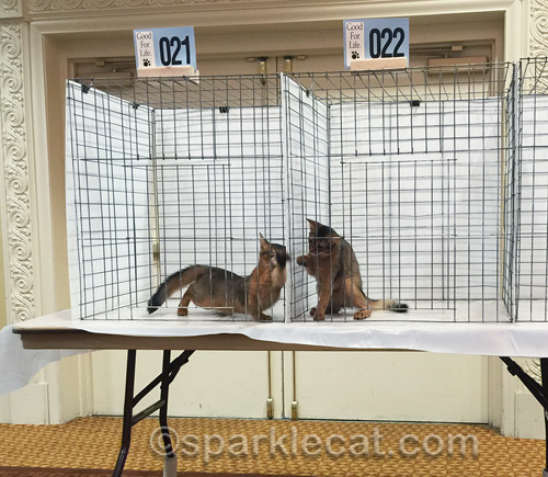 somali kitten brothers playing in judging cages at cat show