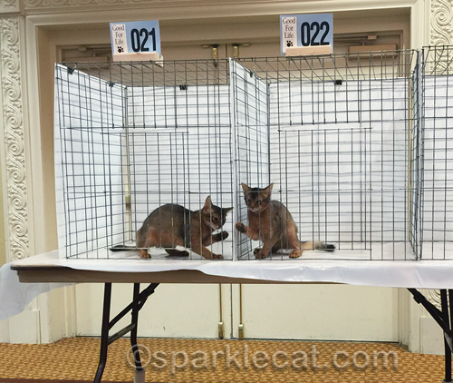 somali kittens goofing around in judging cages at cat show