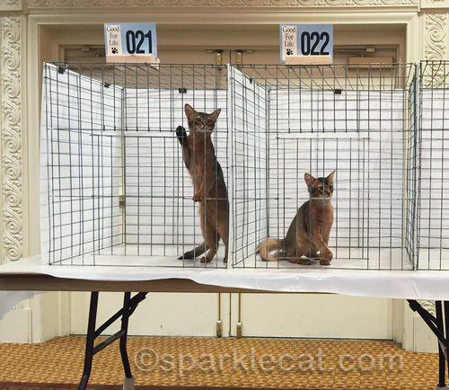 somali kittens waiting to be judged at cat show