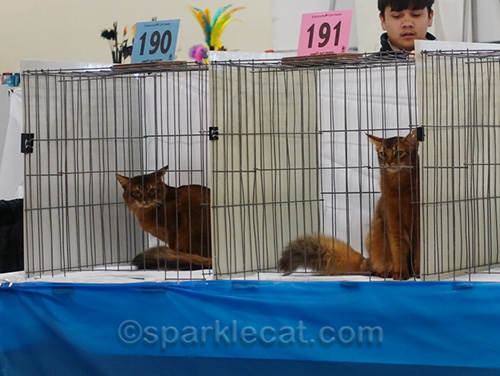 Two somali cats in a cat show ring