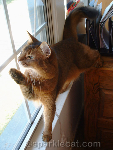 somali cat looking out window