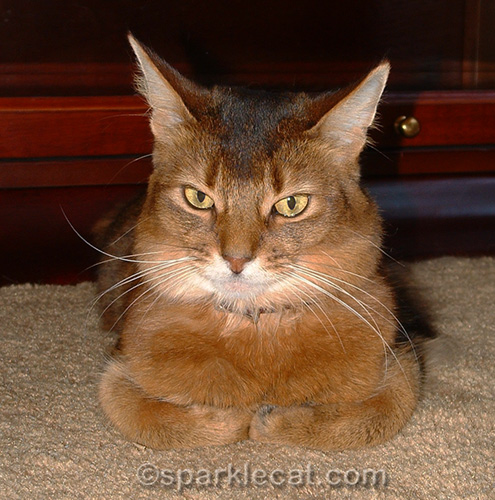 somali cat looking annoyed